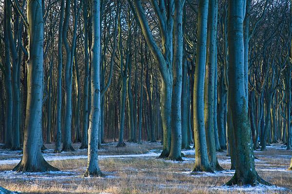 Bild Winterlicher Buchenwald Gespensterwald Nienhagen Mecklenburg